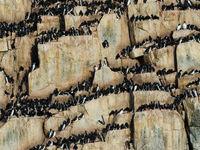 Kortbekzeekoeten zitten opeen gepakt op de steile rotskliffen. © David 'Billy' Herman