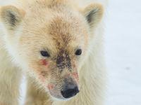 De vacht van ijsberen heeft steeds een wat gelige schijn door het bloed van de gedode prooien. © David 'Billy' Herman