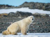 Een volwassen mannetje ijsbeer. © David 'Billy' Herman