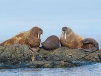 Walrussen zijn de speklappen bij uitstek. © David 'Billy' Herman
