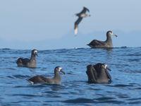 Deze albatrossen komen helemaal van de Midway eilanden ten westen van Hawaii, en spenderen de meeste tijd aan de westkust van Noord-Amerika. © Joachim Bertrands