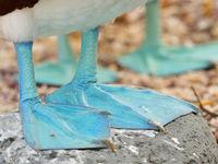 Blauvoetgenten laten weinig verbeelding over aan de oorsprong van hun naam. © Yves Adams