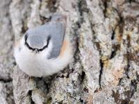 Een boomklever van bij ons, maar wel van de ondersoort 'clara'. © Yves Adams
