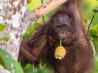 De vrucht van een broodboom volstaat voor deze orang-oetan en is geschikt als ontbijtje. © Billy Herman