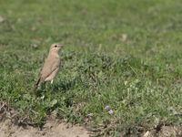 Een izabeltapuit nabij het nest. © Brecht De Meulenaer