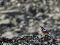 Een mannetje witkruinroodstaart tijdens de beklimming. © Brecht De Meulenaer