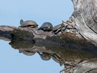 Europese moerasschildpadden krijgen tegenwoordig sterke concurrentie van geïntroduceerde soorten.  © Henk Schuijt