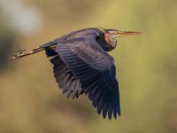 Een volwassen purperreiger vliegt naar het nest. Het zijn erg schuwe rietbewoners, maar in het broedseizoen durven ze zich al wat meer tonen tijdens de voedselvluchten. © Henk Schuijt