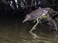 Deze juveniele kwak heeft net het nest verlaten, te zien aan de donspluizen op de kop. © Henk Schuijt