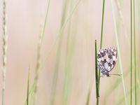 Een dambordje rust uit op een grasstengel. © Sandy Spaenhoven