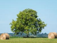Een typisch beeld van het landschap in de Brenne: een statige es in het landschap. © Sandy Spaenhoven