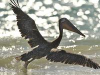 Deze ondersoort komt enkel op de Galapagos voor. © Yves Adams