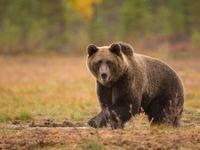 Een blik die kruist met een bruine beer blijft een memorabele gebeurtenis. © Martine Decoussemaeker en Jacky Launoy