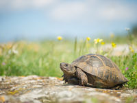 De Griekse landschildpad in een bloemrijk grasland. © Billy Herman