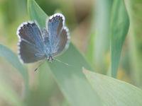 Blauwtjes proberen we steeds op naam te brengen... © Billy Herman