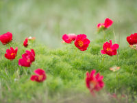 Deze anemonen vinden we voornamelijk in de bergen. © Billy Herman