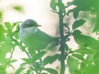 Deze braamsluiper laat weemoedig z'n liedje horen vanuit het groen. © Billy Herman