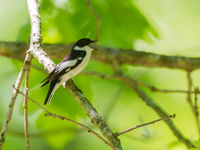 Een balkanvliegenvanger, te herkennen aan die witte halsvlekjes die elkaar net niet raken op de nek! © Billy Herman