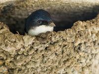 Huiszwaluw in het nest. © Billy Herman