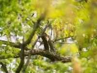 Een draaihals nabij de nestholte... Deze soort is in ons land erg zeldzaam geworden als broedvogel. © Billy Herman