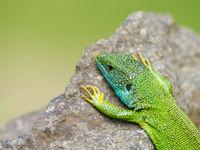 Deze oostelijke smaragdhagedis probeert wanhopig wat warmte op te nemen... © Billy Herman