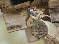 Spaanse mussen vervangen op het platteland de huismussen en herken je steeds aan hun sterk gestreepte onderdelen. © Billy Herman