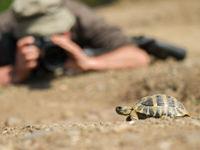 Een Griekse landschildpad wordt uitgebreid gefotografeerd. © Billy Herman