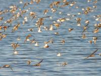 Een gemengde groep krombekstrandlopers en kleine strandlopers, die op dat moment in grote aantallen doorkomen. © Billy Herman