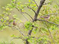 Een paartje oostelijke baardgrasmussen nabij het nest. © Billy Herman