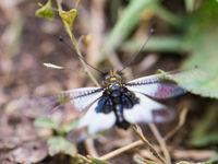 Vlinderhaften zijn een 'missing link' tussen vlinders en libellen, en dat is ook exact hoe ze eruit zien! © Billy Herman