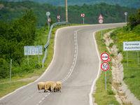 Enkele schapen op de baan. © Billy Herman