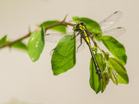 Tal van libellen kruisen ons pad op deze reis, waaronder ook een aantal rombouten. © Billy Herman