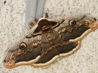 Grote nachtpauwoog, zowat de spectaculairste nachtvlinder van Europa! © Billy Herman