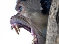 Ceylonkroonaap. © Rudi Debruyne