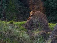 Een bruine beer schuurt zich aan een rotsblok. © Jeffrey Van Daele