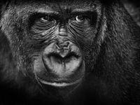 Een close-up van een gorilla. © Jeffrey Van Daele