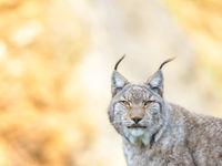 Deze lynx laat zich gewillig fotograferen.  © Jeffrey Van Daele
