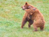 Twee jonge bruine beren zijn in een stevig gevecht verwikkeld. © Jeffrey Van Daele