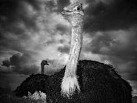 Rustende struisvogels. © Jeffrey Van Daele