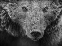 Een portret van een bruine beer. © Jeffrey Van Daele