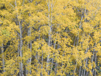 Espen in gele herfstkleur. © Bart Heirweg