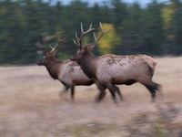 Elk, de Noord-Amerikaanse tegenhangers van ons edelhert. © Bart Heirweg