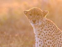 Een cheetah met tegenlicht. © Jeffrey Van Daele