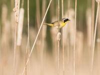 Common yellowthroat. © Johannes Jansen
