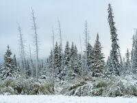 Wit berijpte sparren na de eerste sneeuwval. © Bart Heirweg