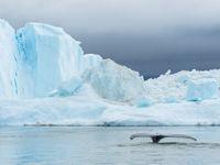Een bultrug verdwijnt aan de rand van het ijs. © Bart Heirweg