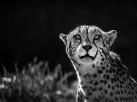 Een jachtluipaard. © Jeffrey Van Daele