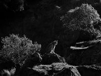 Een Eurasian Lynx. © Jeffrey Van Daele