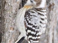 Een gray-capped pygmy-woodpecker. © Yves Adams
