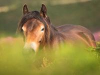 Portret van een Exmoor pony. © Sandy Spaenhoven